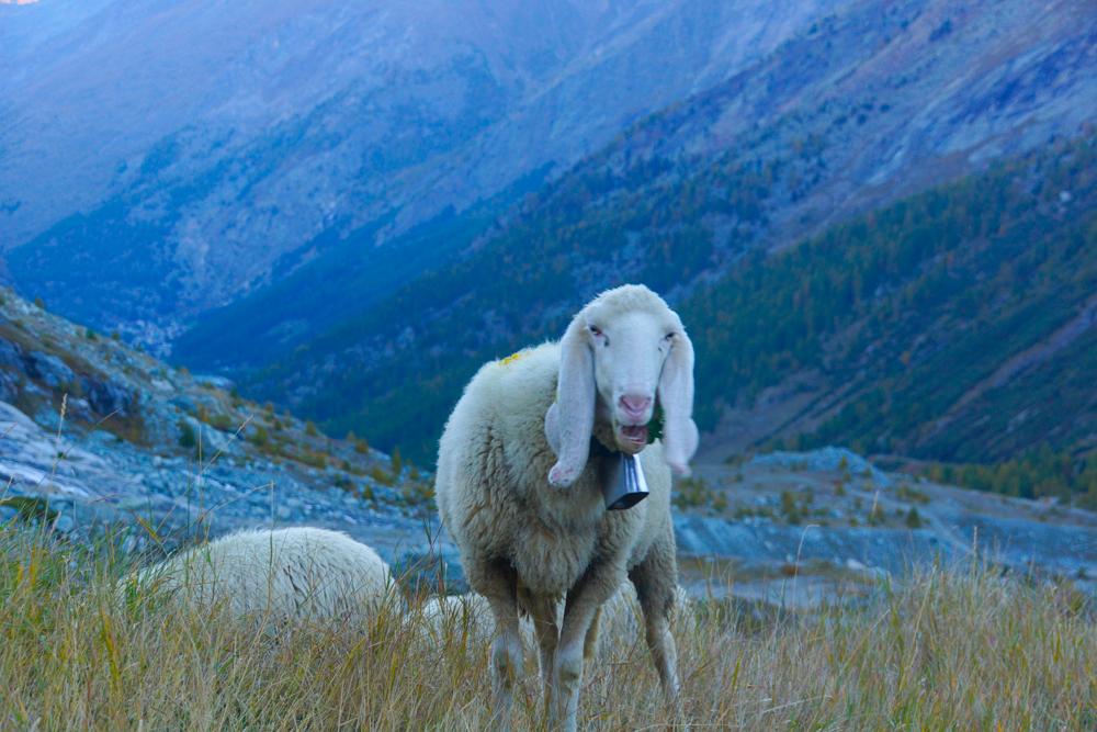 Monte-Moro-Pass Wanderung - Unten trifft man auf Schafe