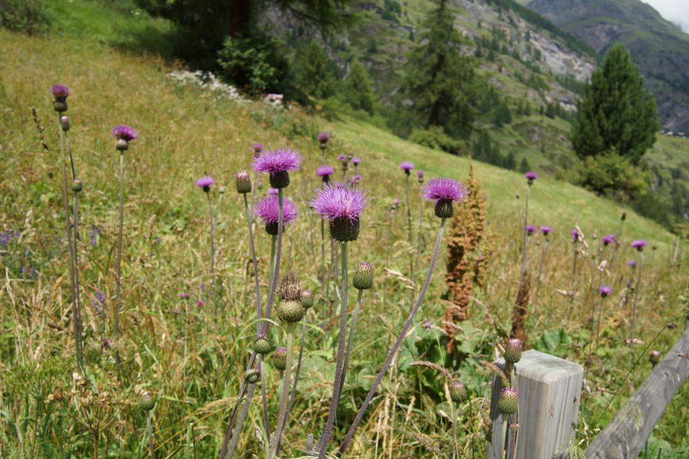 Bergwelt und Blumen in der Schweiz - Ein Paradies