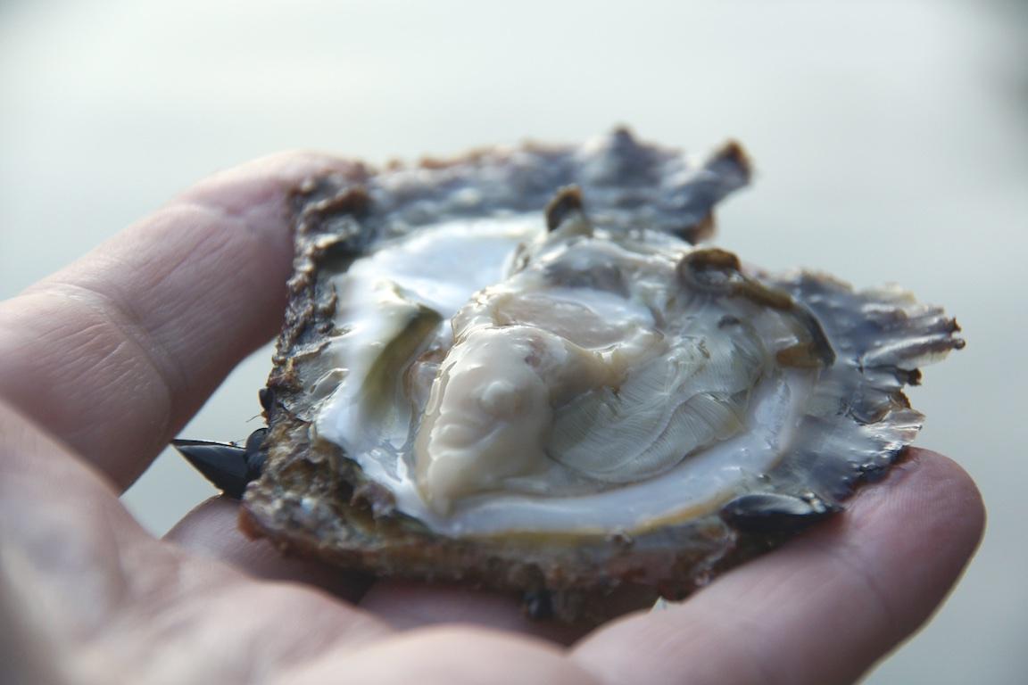 Austernzucht in Istrien - Kroatiens leckere Austern aus dem Limski Kanal genießen