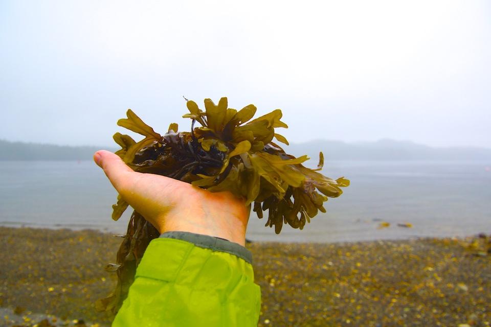 Algen in Alaska - Auch als Chips super lecker