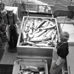 Ganze Familien arbeiten im Lachsgeschäft in Alaska