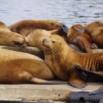 Seelöwen sonnen sich in Kodiak