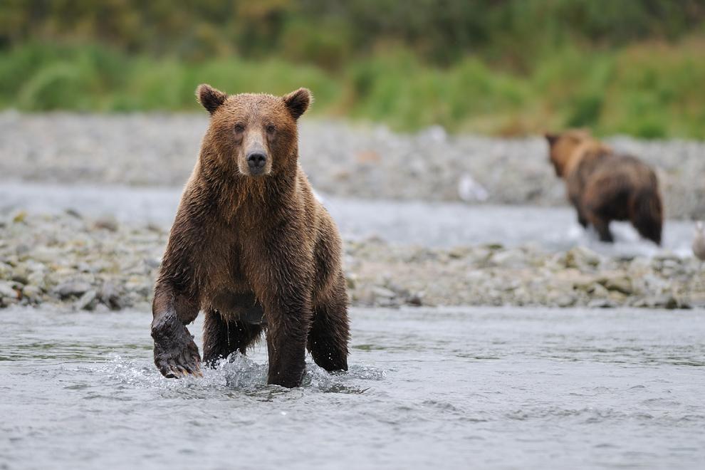 Alaska und seine Bären