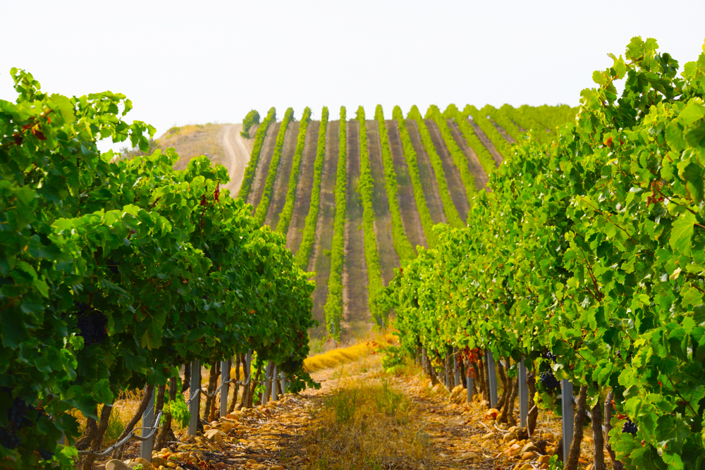 Weinberge in Italien im Herbst