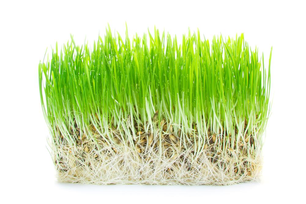 Gerstengras - Natürliches Detox-Mittel