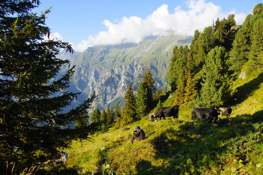 Eringer Rinder in der Schweiz