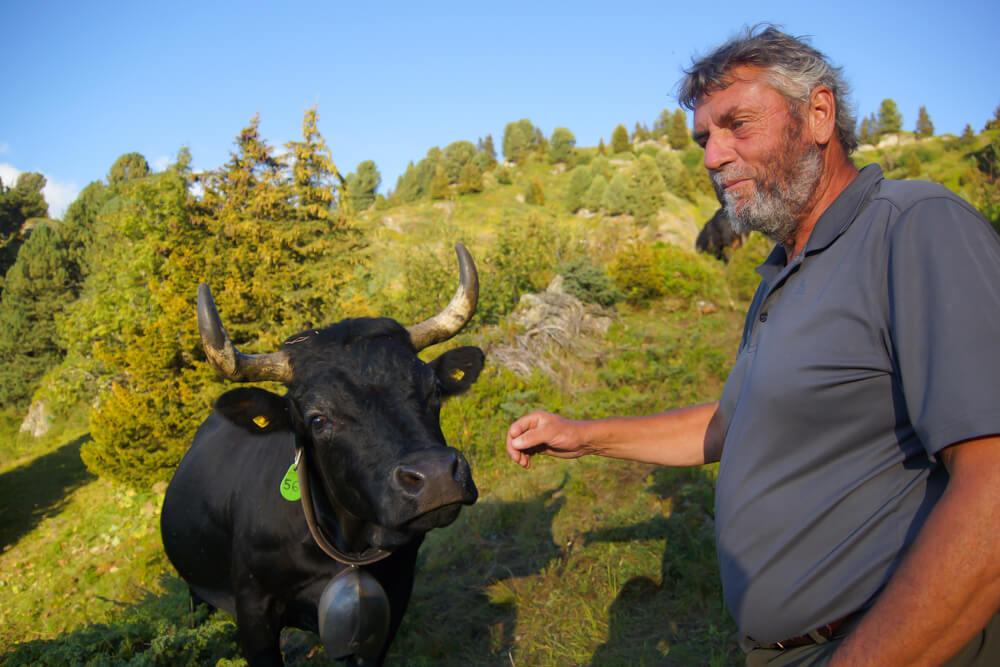 Milchkühe in den Schweizer Alpen