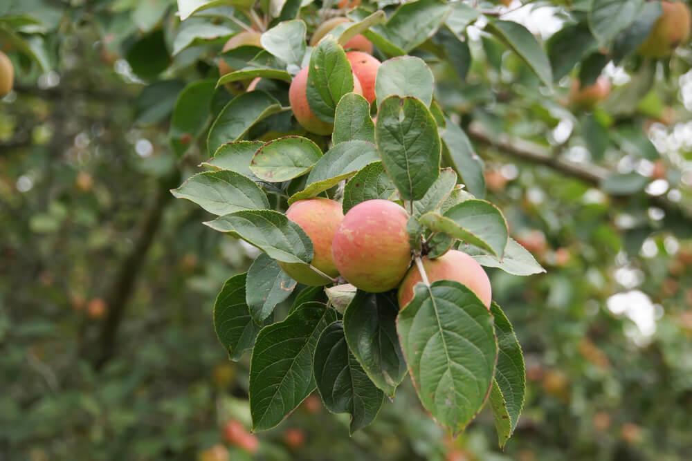 Apfelbäume für Cidreherstellung