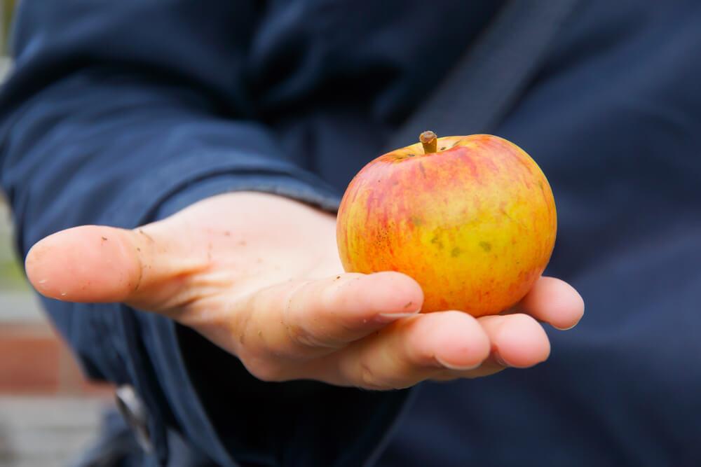 Spezielle Apfelsorte für die Herstellung von Cidre