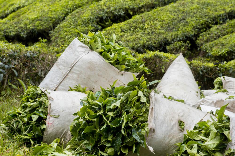Assamtee - Typisch für ostfriesische Teemischungen