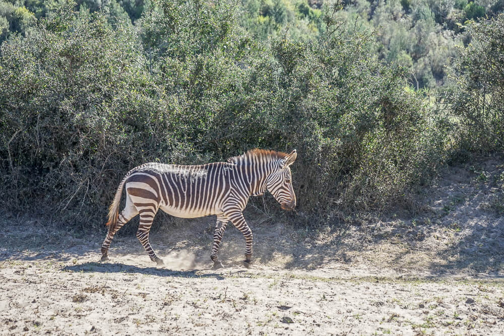 Botlierskop Game Reserve & Villas - Zebra im Park