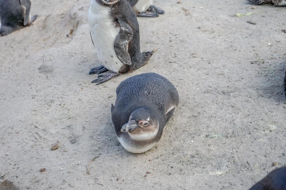 Boulders Beach Pinguine - Pinguine chillen