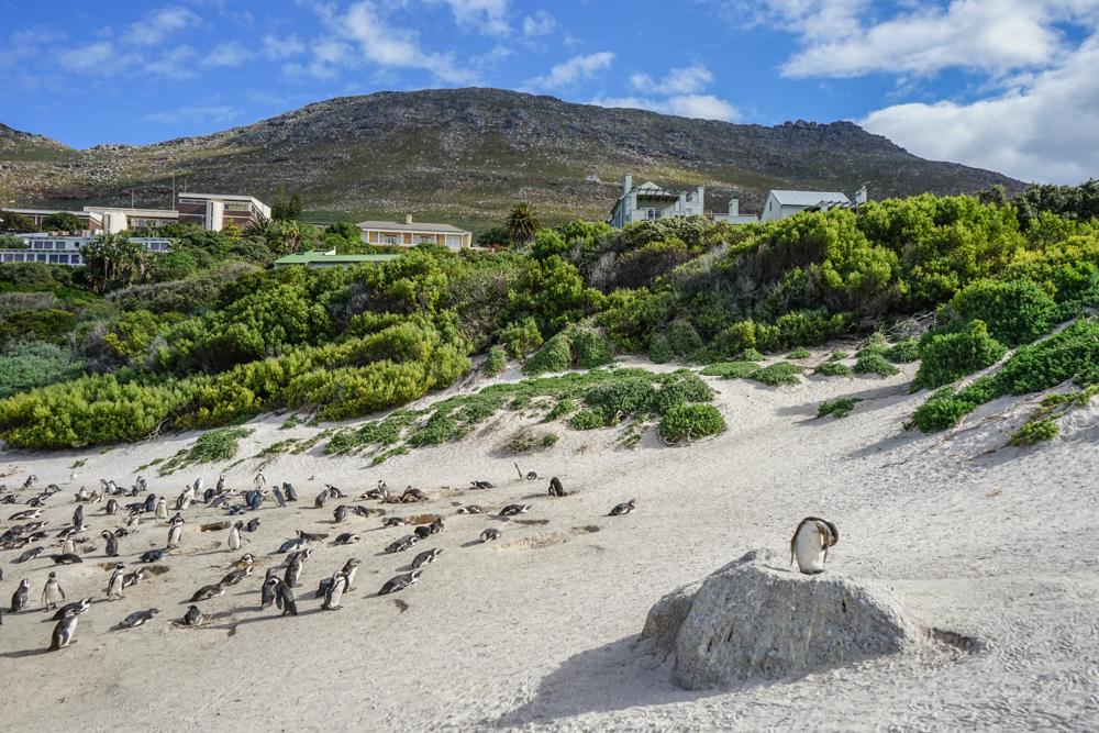 Boulders Beach Pinguine - Pinguine und Dünenlandschaft
