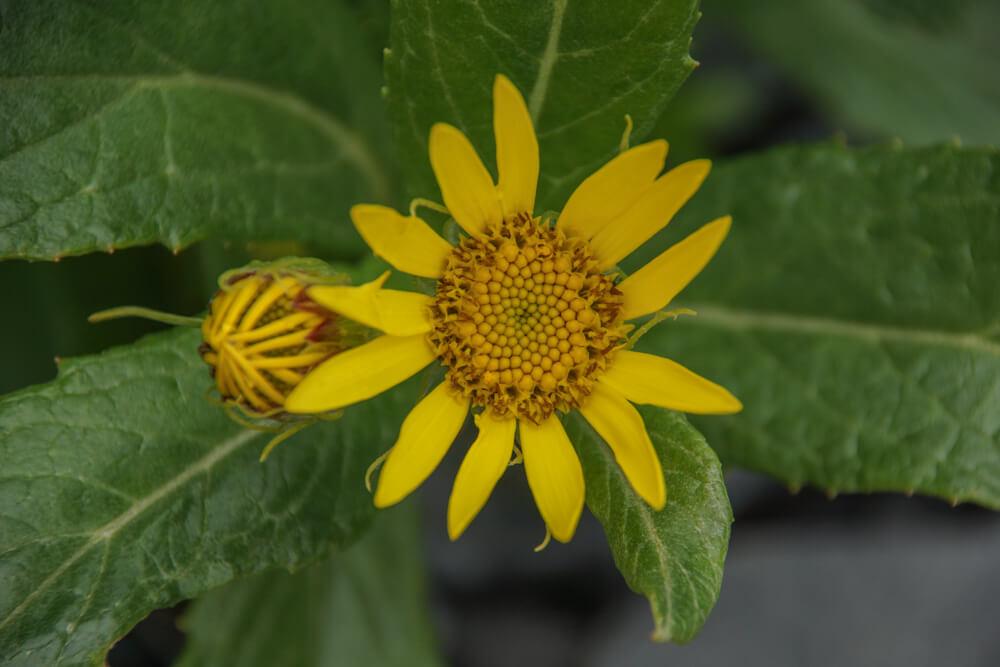 Kodiak, Alaska USA - Blumen im August