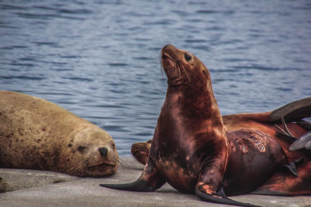 Kodiak, Alaska USA - Seelöwen 2