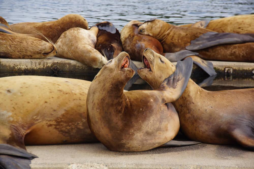 Kodiak, Alaska USA - Seelöwen