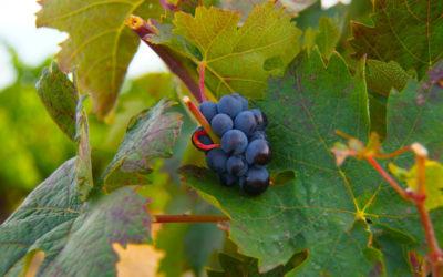 Finca Museum, Spanien - Wein am Stock