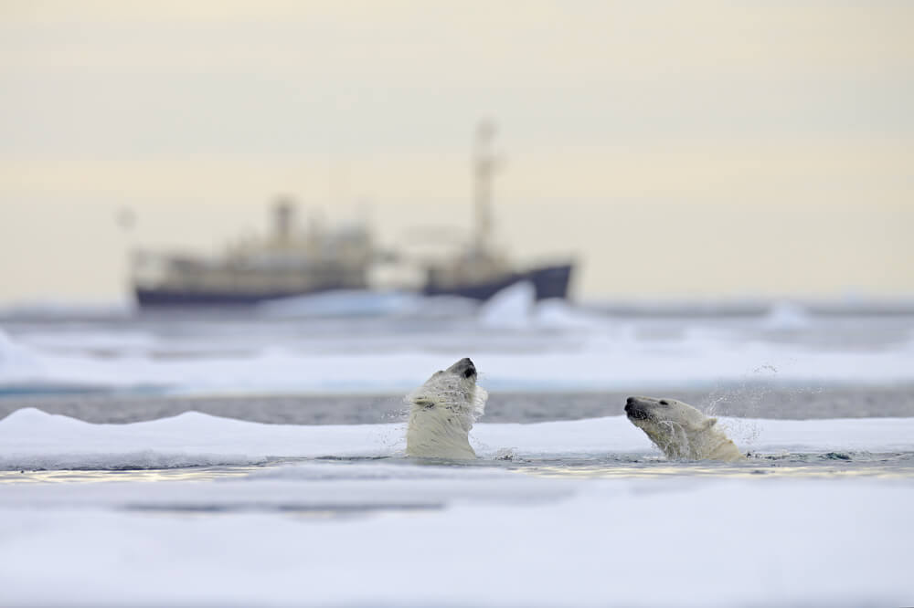Eisbären in der Arktis entdecken