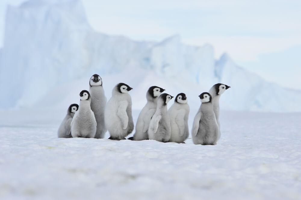 Pinguine in der Arktis entdecken