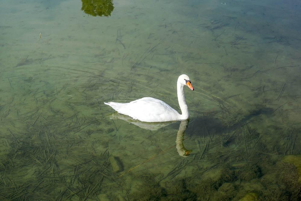 Glücklicher Schwan auf dem Murtensee - glasklares Wasser