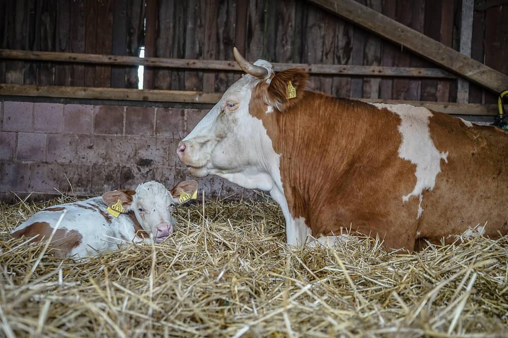 Kuh mit Kälbchen auf dem Neukahlenburger Hof