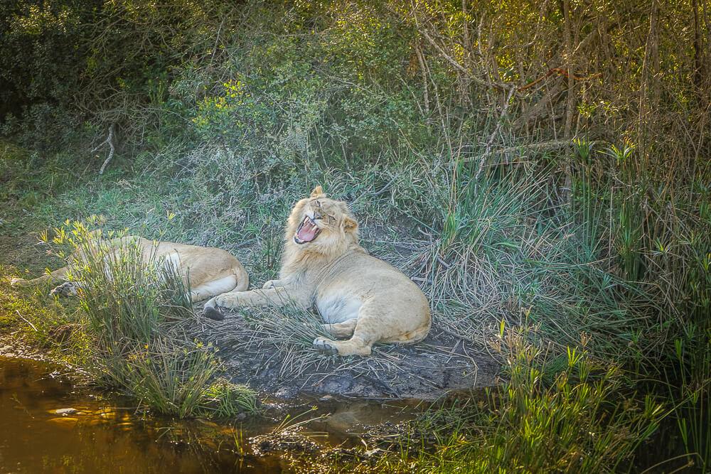 Botlierskop Private Game Reserve - Löwen beim Mittagsschlaf