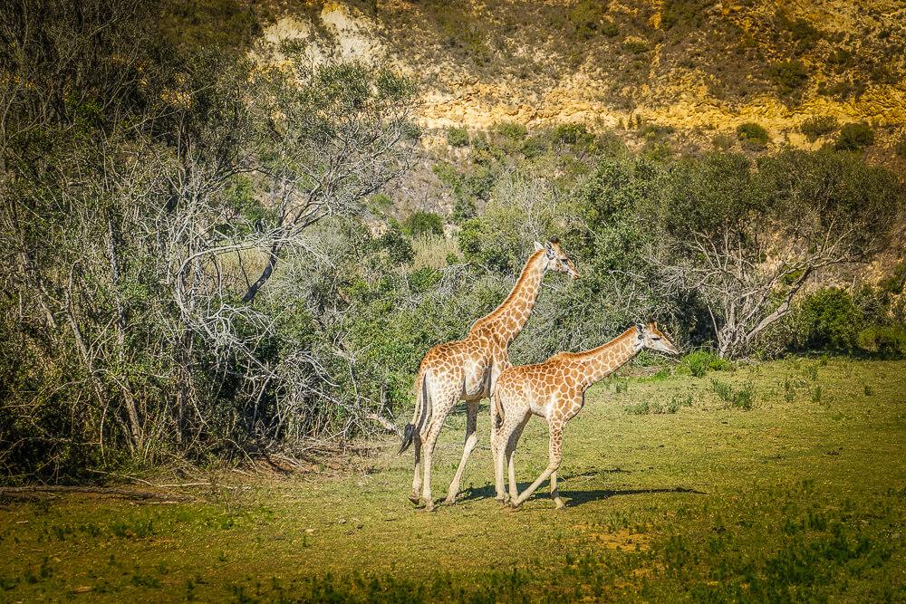 Botlierskop Private Game Reserve - junge Giraffen