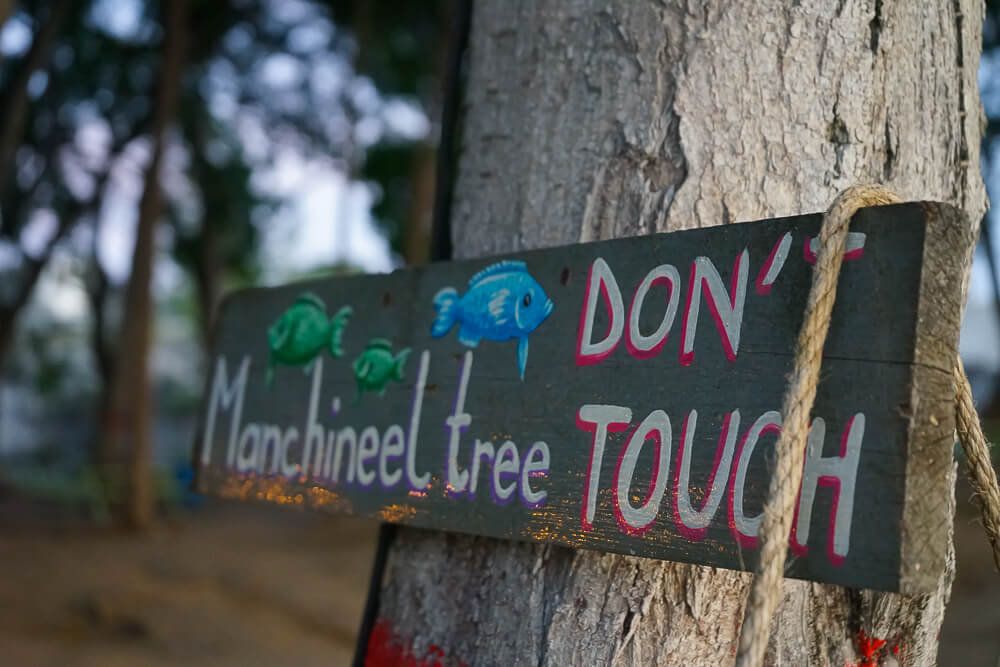 La Cabane, Barbados - dont touch Machineel tree