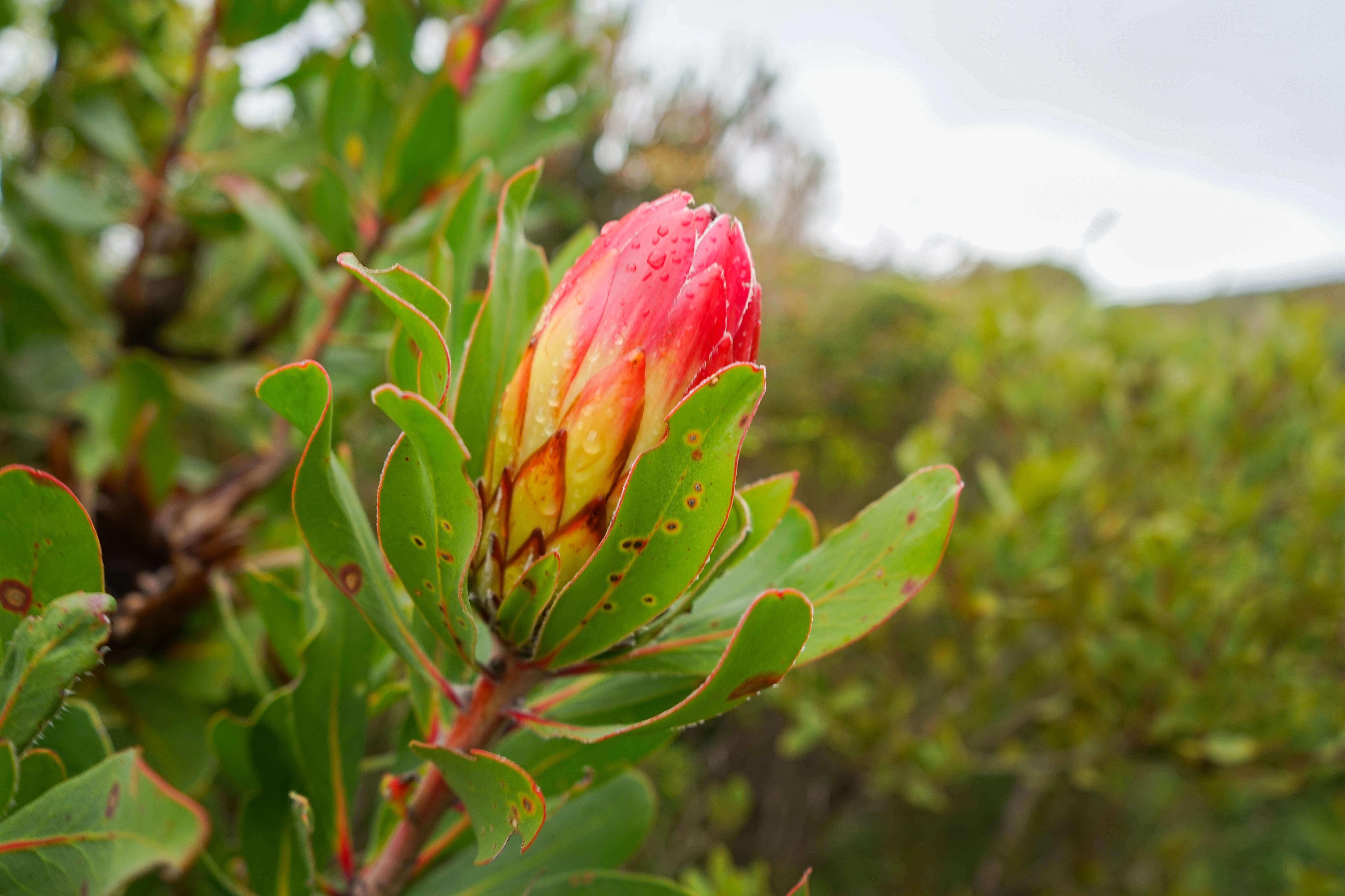 Grootbos Private Nature Reserve - Fynbos Pflanzen 2