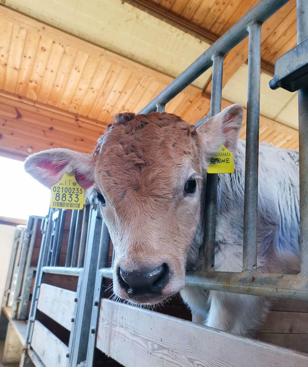 Stilfser Käse, Südtirol - junge Kuh
