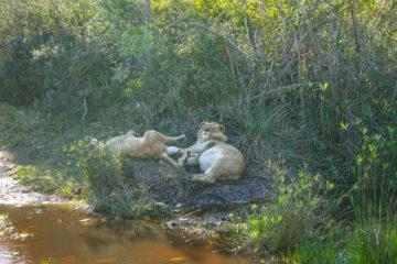 Botlierskop Tages-Safari, Südafrika - satte Löwen